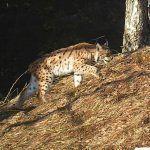 Карпатская рысь на холме