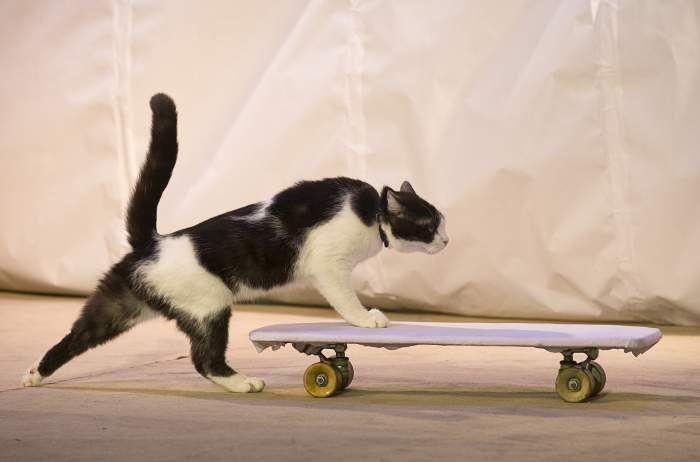 Кот забирается на скейт