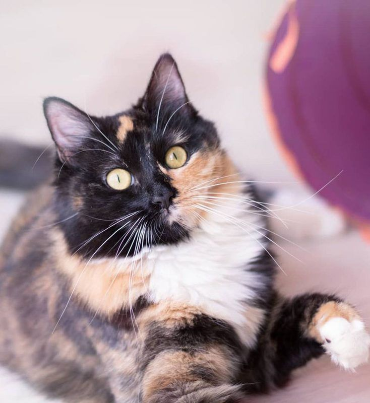 Толстенькая кошка
