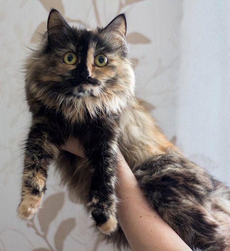 Черепаховая кошка на руках