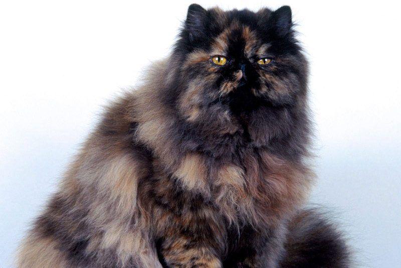 Очень пушистая кошка