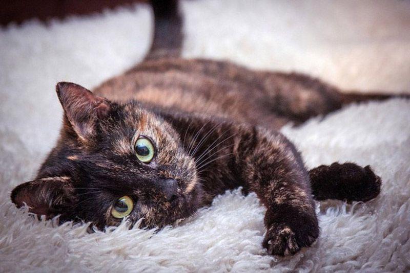 Черепаховая кошка на ковре