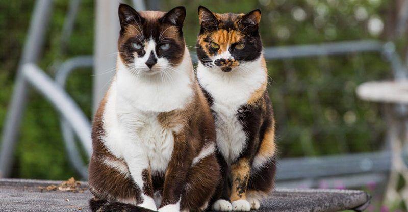 Черепаховые коты