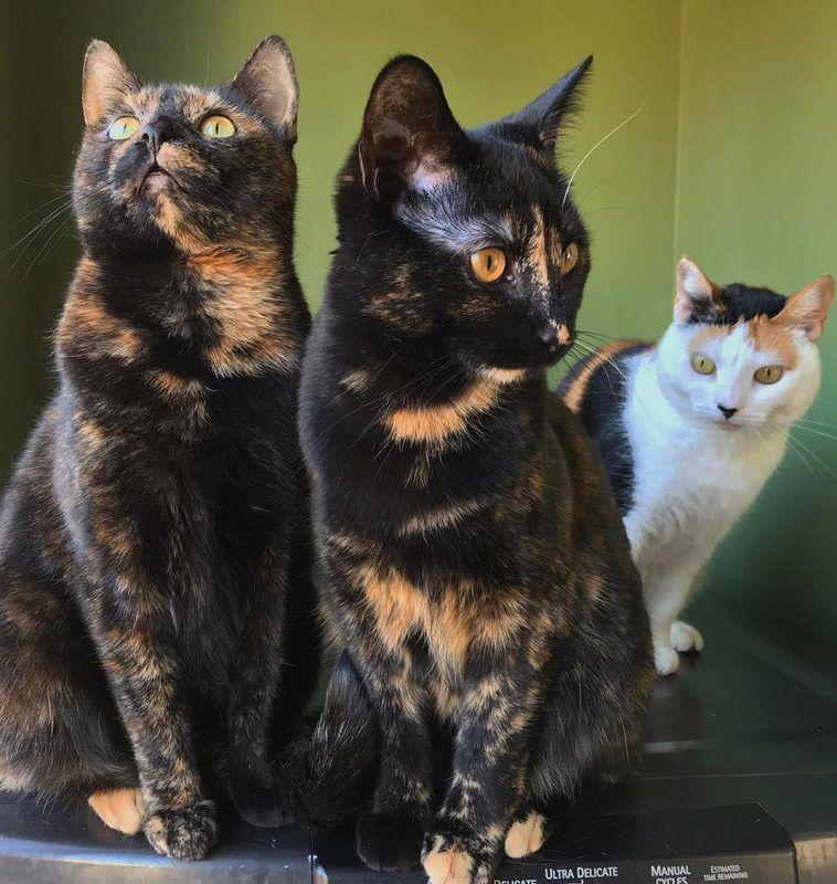 Две кошки черепахового окраса