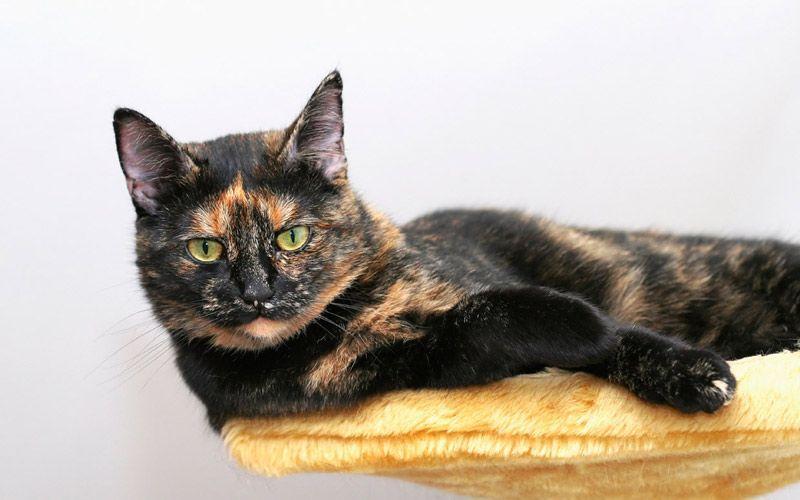 Суровый черепаховый кот