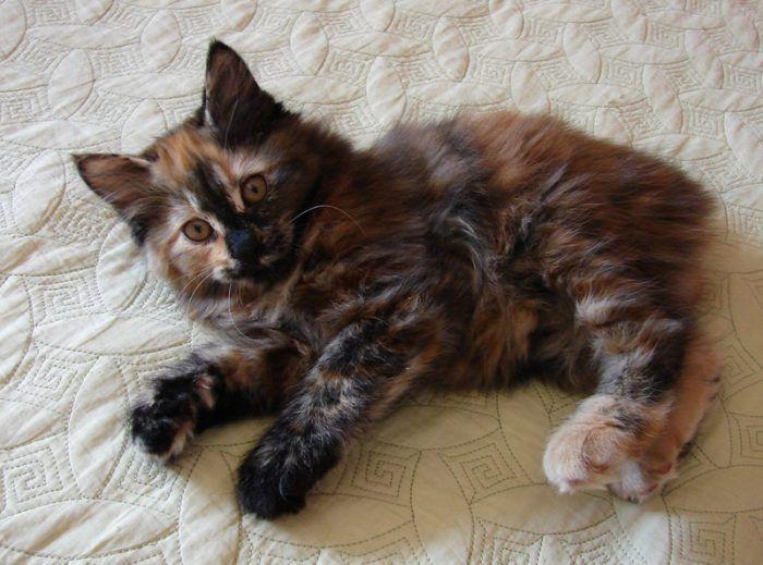 Игривый черепаховый котенок