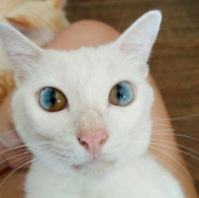 Котик с разноцветными глазами