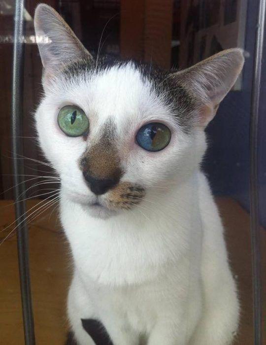 Разноцветные глаза у котика