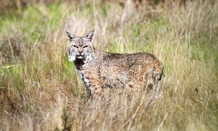 Lynx rufus fasciatus