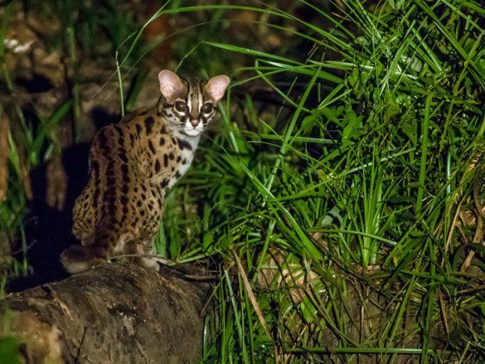 Леопардовая кошка Sunda