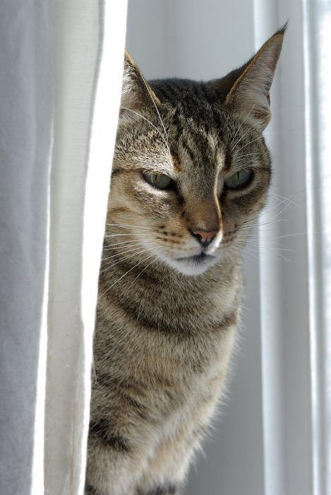 Кошка прячется в шторе