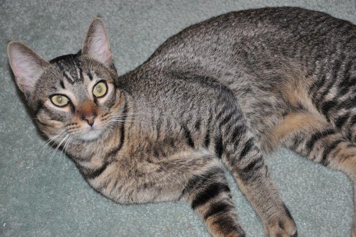 Кошка kannani
