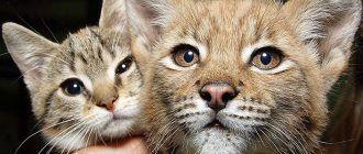 Кошечка и рысь