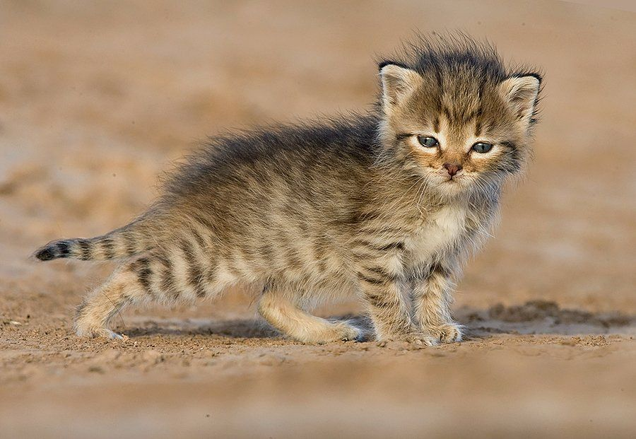 тут котята дикой степной кошки фото вечеринка совсем