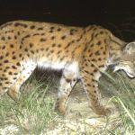 Кавказская рысь на фото