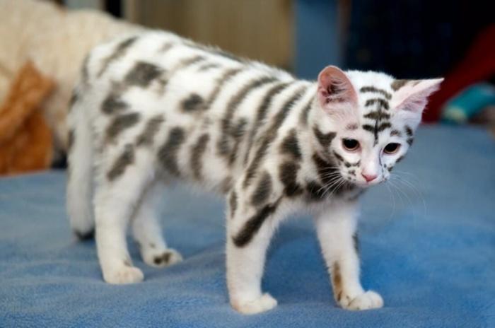 Необычный окрас у котенка