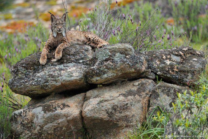 Рысь разлеглась на камнях