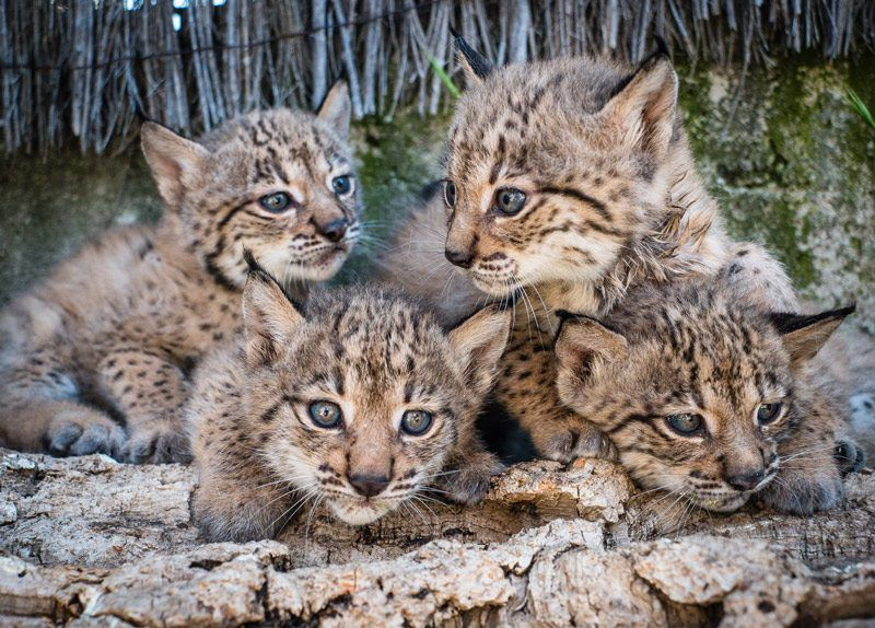 Четыре котенка рыси