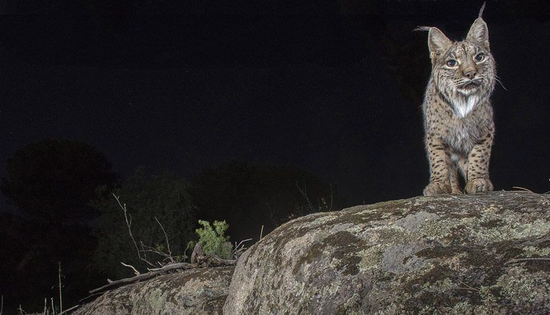Рысь ночью