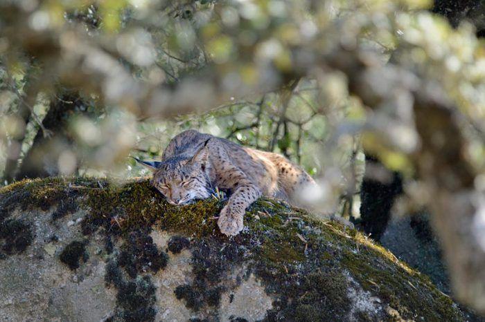 Рысь устала после охоты
