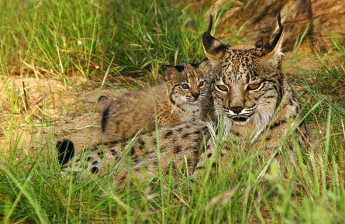 Рысь охраняет котят
