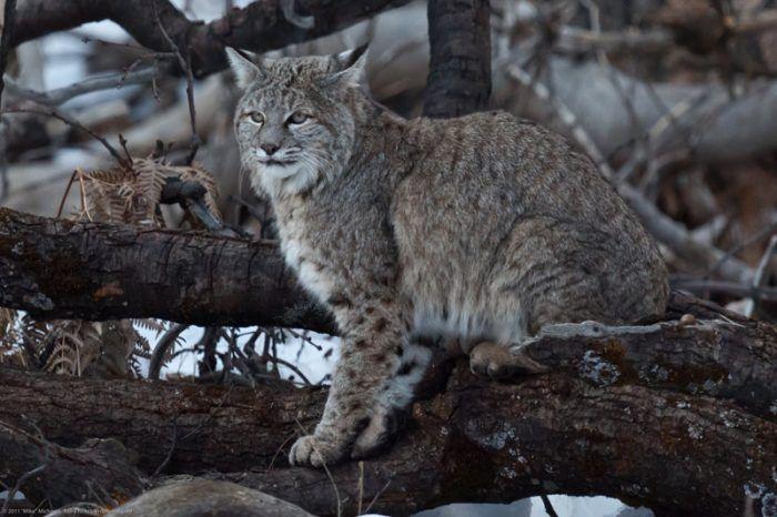 Lynx rufus rufus