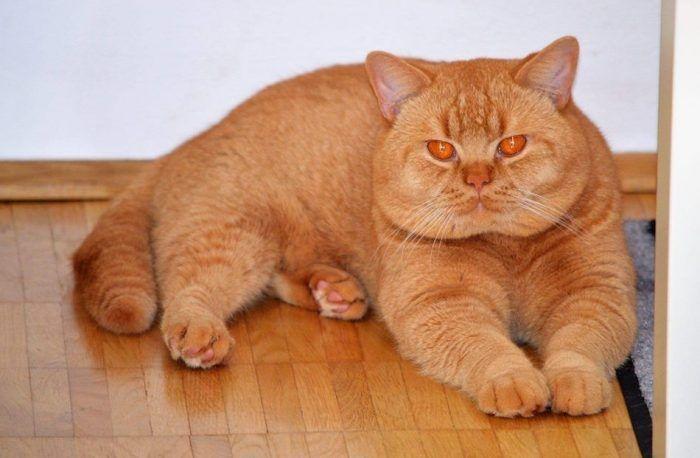 Очень рыжий кот