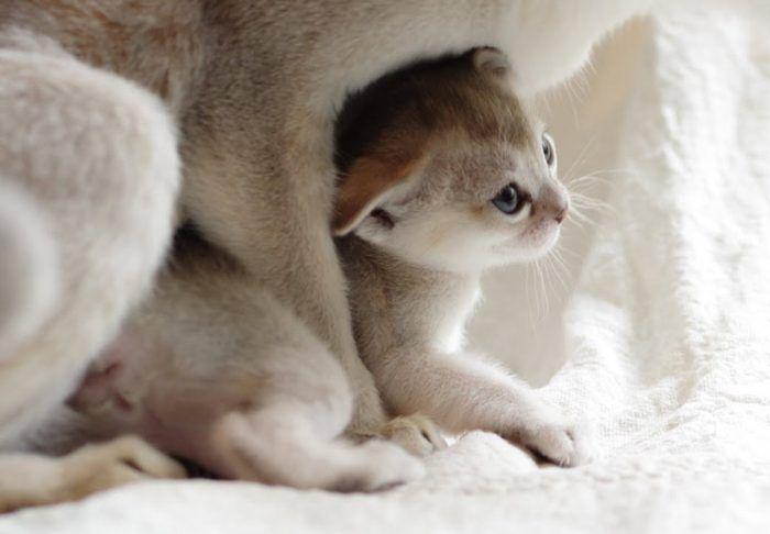 Котенок рядом с матерью