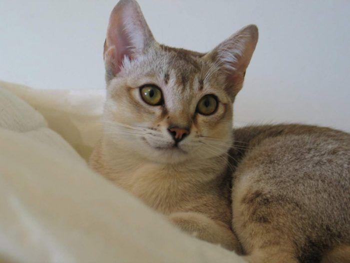 Сингапурская кошка следит за хозяином