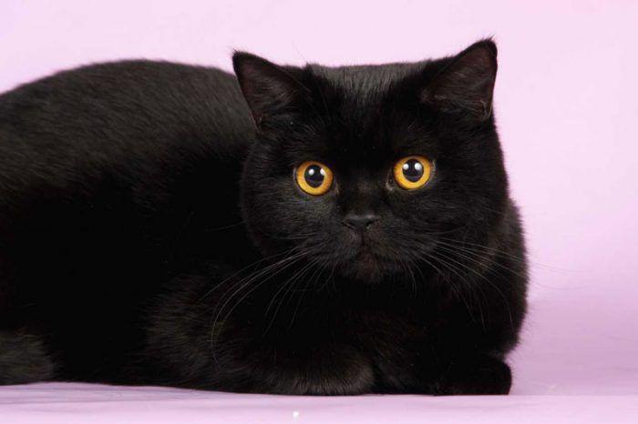 Кошка черного цвета