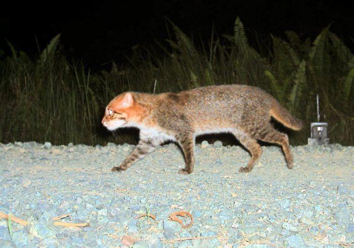 Кошка Суматранская ночью