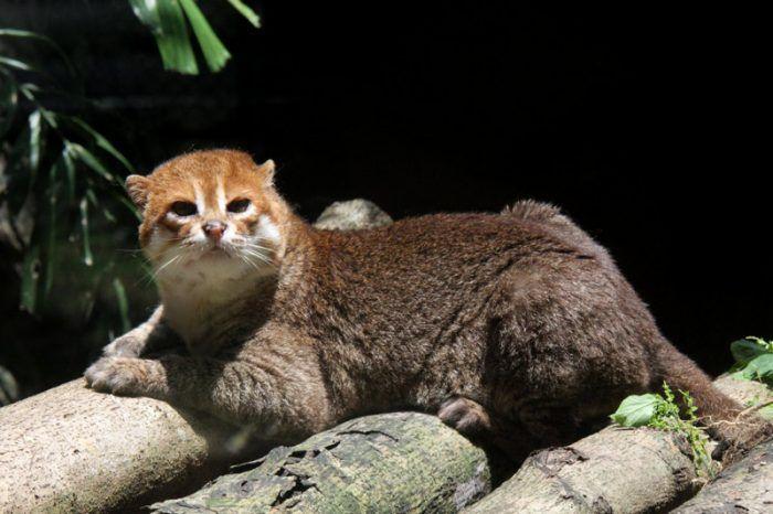Суматранская кошка отдыхает