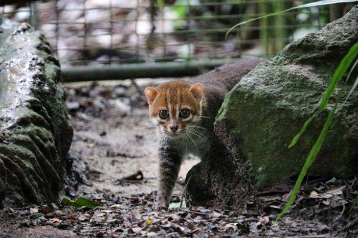 Грациозная кошка Суматранская