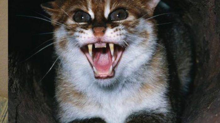 Суматранская кошка злится на человека