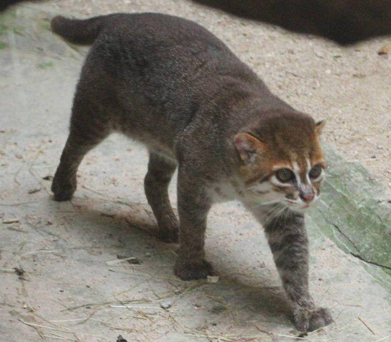 Суматранская кошка ходит по клетке