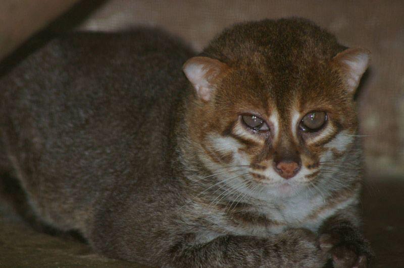 Рыжая Суматранская кошка