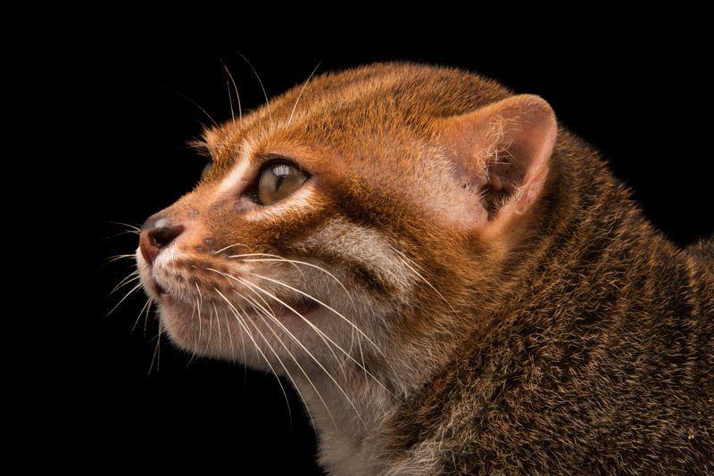 Суматранская кошка в профиль