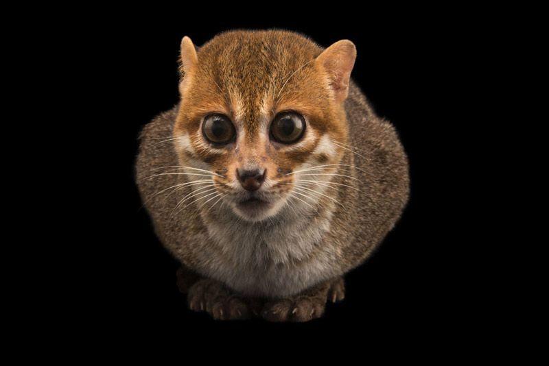 Огромные глаза у Суматранской кошки