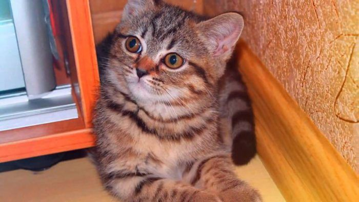 Подросший котенок окраса табби