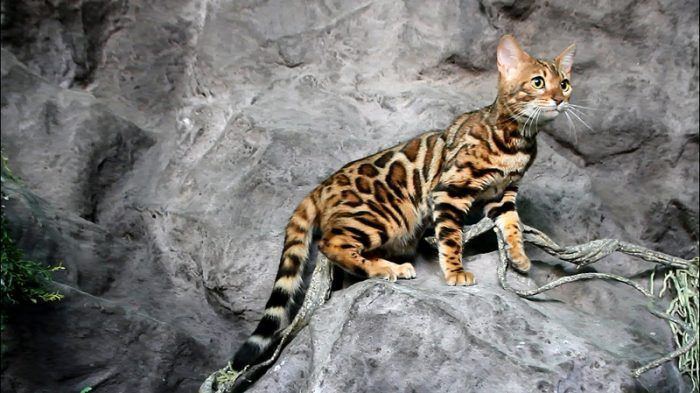 Полосатый кот на камне