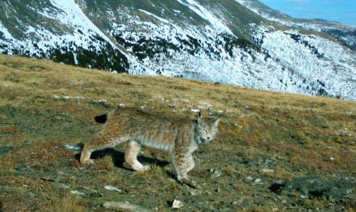 Алтайская рысь смотрит в сторону