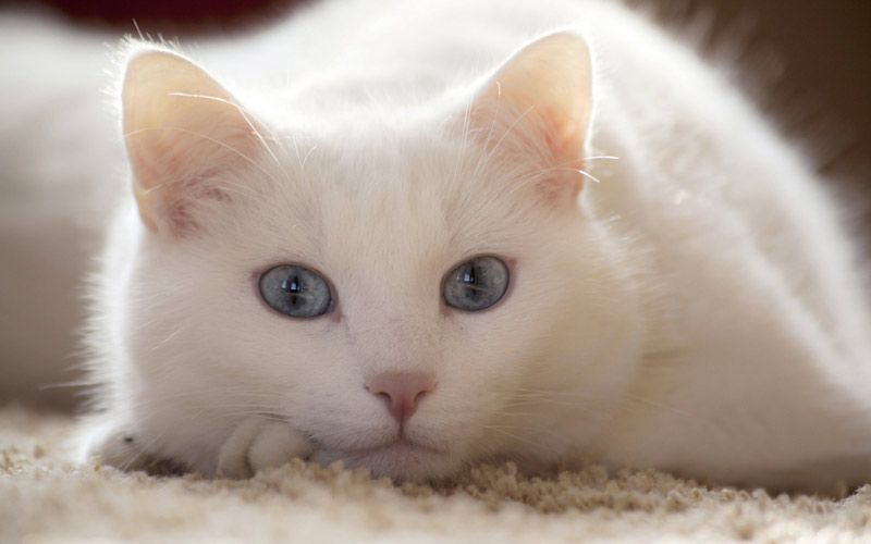 Кошка тоскует
