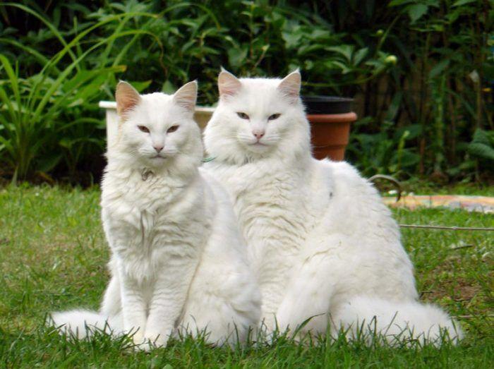 Две белые кошки