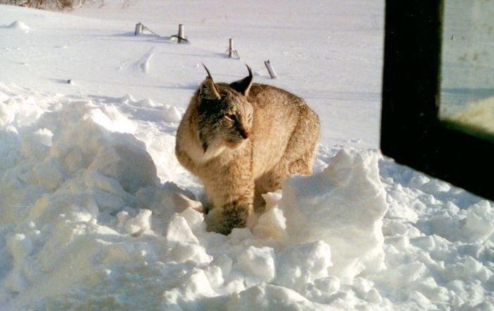 Восточносибирская рысь в снегу