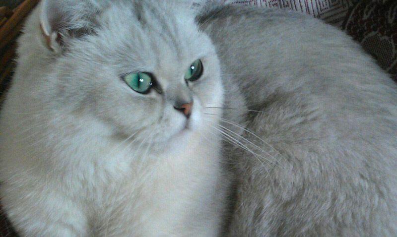 Кошка с затушеванным окрасом