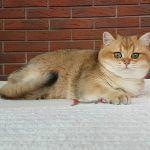 Золотая шиншилла на диване