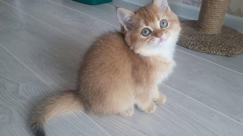 Котенок окрас Золотая шиншилла