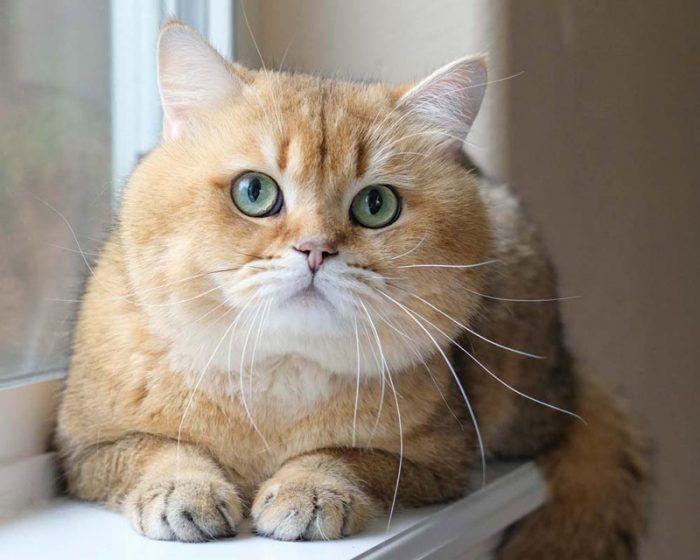 Кошка окраса Золотая шиншилла