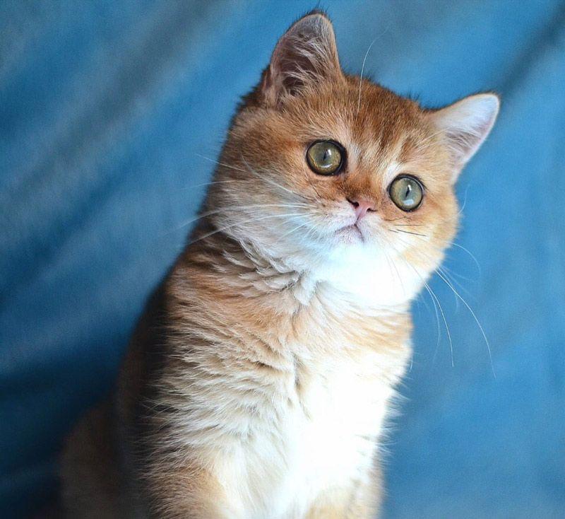 Кошка золотого цвета