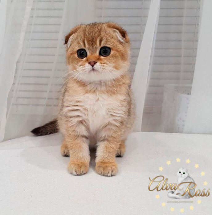 Маленький британский котенок